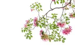 Fleur rose de rosea de Tabebuia fleurissant au printemps Photo libre de droits