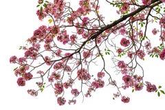 Fleur rose de rosea de Tabebuia fleurissant au printemps Images stock