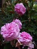 Fleur rose de roses Image libre de droits