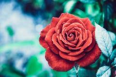 Fleur rose de rouge photos libres de droits