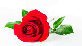 Fleur rose de rouge photographie stock libre de droits