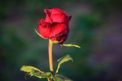 Fleur rose de rouge Images stock