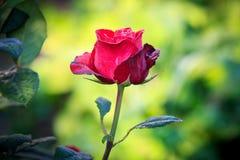 Fleur rose de rouge Photo libre de droits