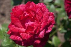 Fleur rose de rouge Photo stock