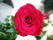 Fleur rose de rouge image libre de droits