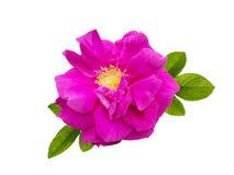 Fleur rose de Rugosa d'isolement sur le blanc Photos libres de droits