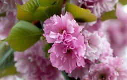 Fleur rose de sakura image libre de droits