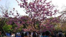 Sakura Fleurs De Cerisier En Parc D Ueno A Tokyo Japon Banque De