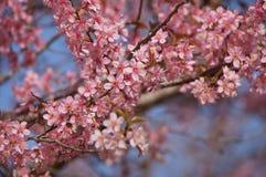 Fleur rose de Sakura aux montagnes de la Thaïlande Photos stock