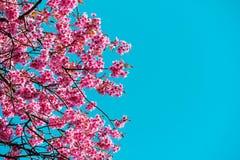 Fleur rose de Sakura contre le ciel bleu photo libre de droits