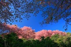 Fleur rose de Sakura sur la montagne en Thaïlande, fleurs de cerisier Image stock