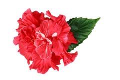 Fleur rose de Soudanais Photos libres de droits