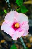 Fleur rose de stamens de jaune de fleur de ketmie admirablement Photos stock