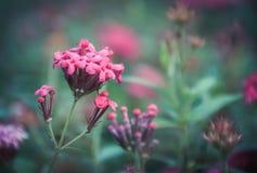 Fleur rose de transitoire dans le jardin avec le fond vert photos stock
