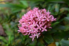 Fleur rose de transitoire dans le jardin photographie stock libre de droits