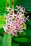 Fleur rose de transitoire sur le fond, vue de face images libres de droits