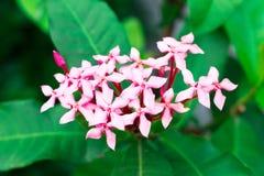 Fleur rose de transitoire sur le fond, vue de face photographie stock