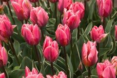 Fleur rose de tulipe Photos stock