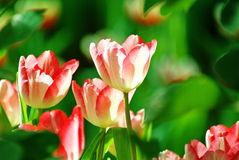 Fleur rose de tulipe au soleil image stock