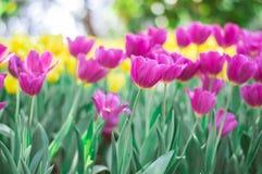 Fleur rose de tulipes dans le jardin image stock