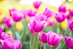 Fleur rose de tulipes dans le jardin photos stock