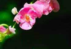 Fleur rose de vigne de corail Images libres de droits