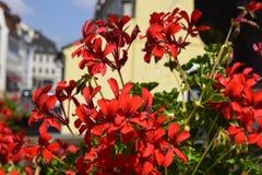 Fleur rose de ville ensoleillée d'été images stock