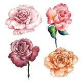 Fleur rose de Wildflower dans un style d'aquarelle d'isolement illustration de vecteur