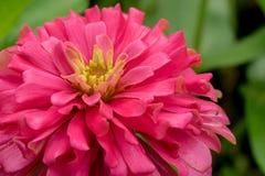 Fleur rose de Zinnia Photographie stock libre de droits