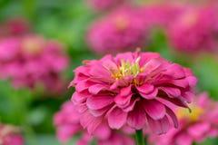 Fleur rose de Zinnia Image stock
