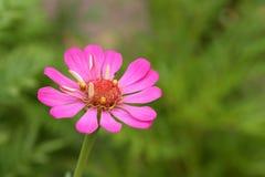 Fleur rose de zinnia au-dessus des milieux verts photographie stock libre de droits