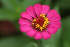 Fleur rose de zinnia au-dessus des milieux verts photos stock