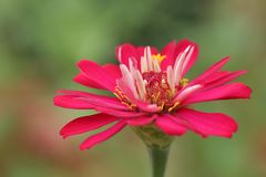 Fleur rose de zinnia au-dessus des milieux verts images stock