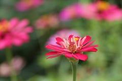 Fleur rose de zinnia au-dessus des milieux verts photographie stock