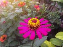 Fleur rose de zinnia belle avec la lumière du soleil dans le jardin photos stock