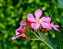 Fleur rose douce avec le fond vert Image libre de droits