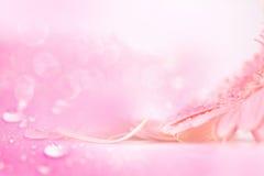 Fleur rose douce de Gerbera avec la gouttelette d'eau, romantique et frais Photos stock
