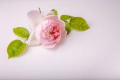 Fleur rose du bel anglais sur le fond blanc Photo stock