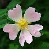 Fleur rose en forme de coeur Photo stock