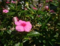 Fleur rose en tant qu'objet principal Photos stock