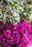 Fleur rose et blanche d'hortensia Hortensia - le terrain communal appelle Hydran Photographie stock libre de droits
