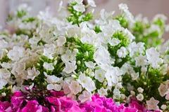 Fleur rose et blanche d'hortensia Hortensia - le terrain communal appelle Hydran Image stock