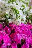Fleur rose et blanche d'hortensia Hortensia - le terrain communal appelle Hydran Images libres de droits