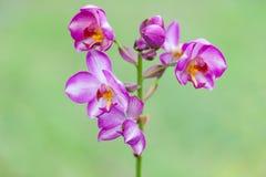 Fleur rose et blanche d'orchidée Image libre de droits