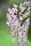 Fleur rose et blanche d'orchidée Photos stock