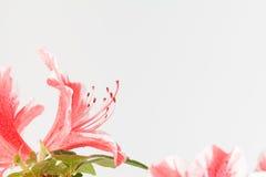 Fleur rose et blanche de corail d'azalée Photographie stock