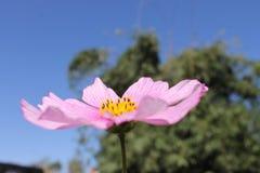 Fleur rose et ciel bleu Images stock