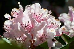 Fleur rose et feuilles vertes, azalée images stock