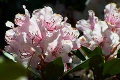 Fleur rose et feuilles vertes, azalée photos stock