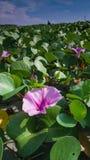 Fleur rose et feuilles vertes de jacinthe d'eau photos stock